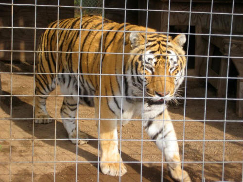 Image result for tiger in a cage